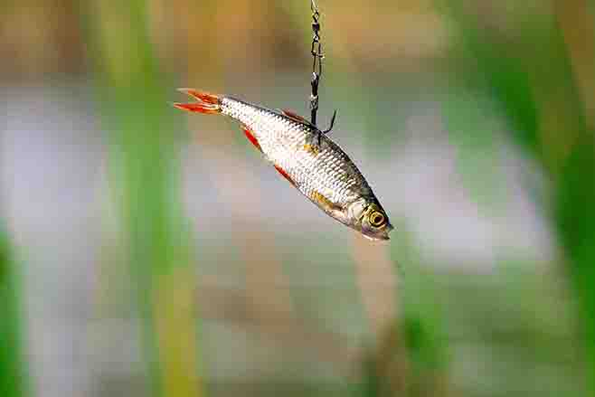 Live bait for pike fishing on a triple hook